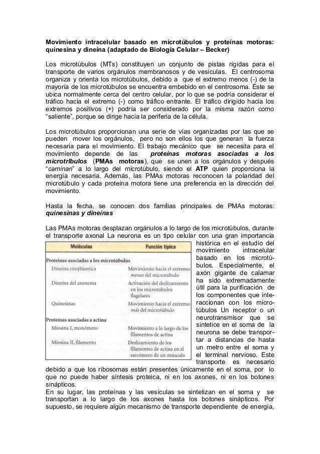 Movimiento intracelular basado en microtúbulos y proteínas motoras:quinesina y dineína (adaptado de Biología Celular – Bec...