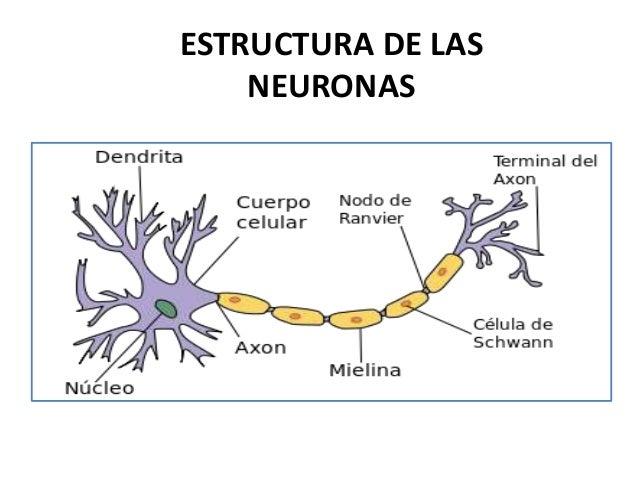 1. Neurona - Anatomia del SN