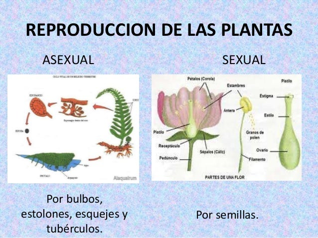 Plantas asexual ysexual