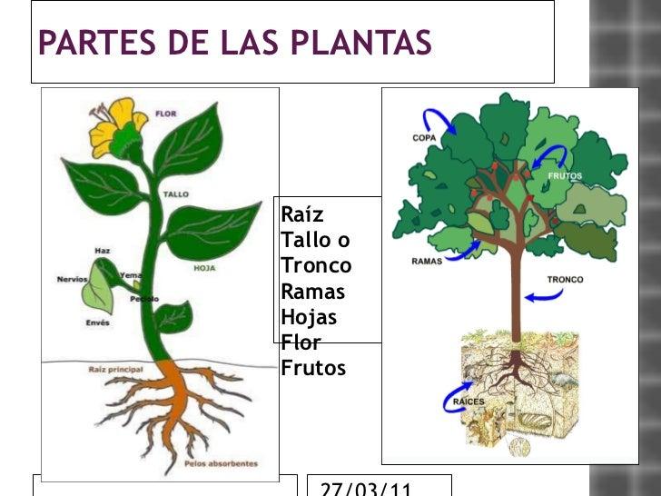 Las plantas for Imagenes de las partes del arbol