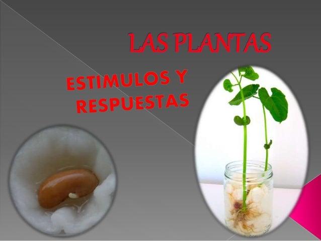 BAJO LA LUZ :A la semilla ya le ha salido una raíz, mas grande que a la otra planta. BAJO SOMBRA la semilla ya le ha salid...