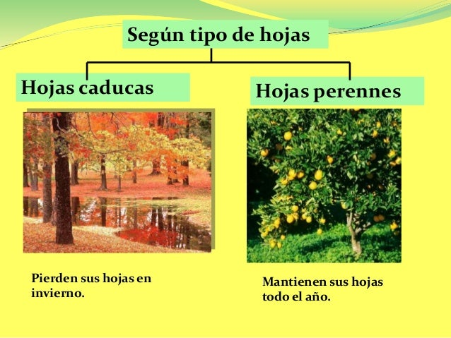 Cifras y letras enero 2016 for Ejemplos de arboles de hoja perenne