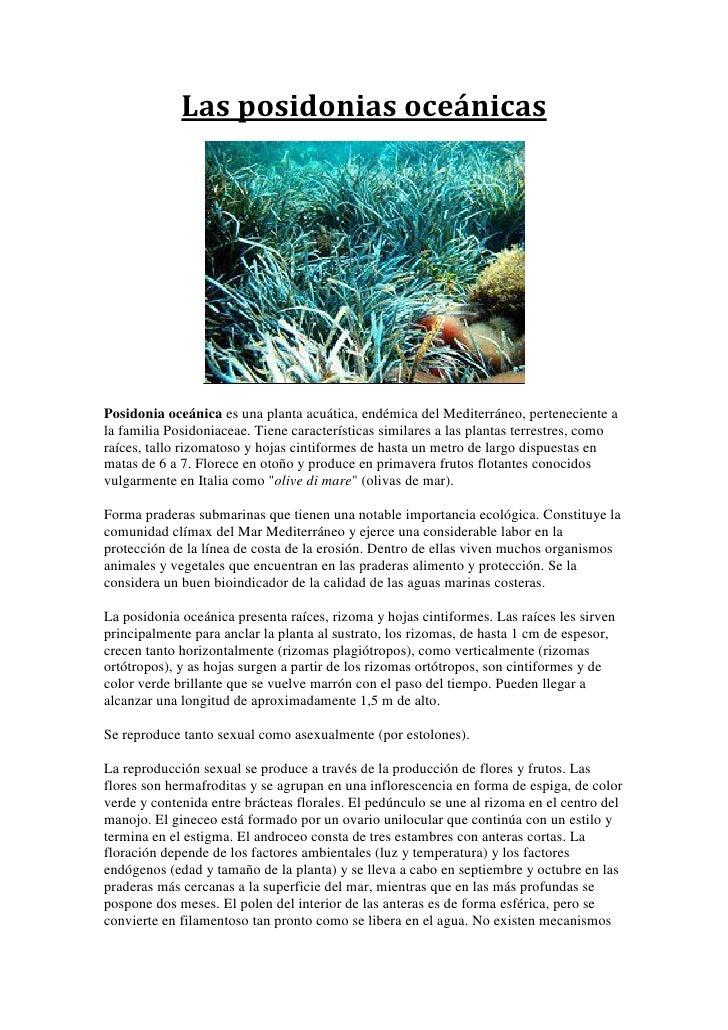 Las posidonias oceánicasPosidonia oceánica es una planta acuática, endémica del Mediterráneo, perteneciente ala familia Po...