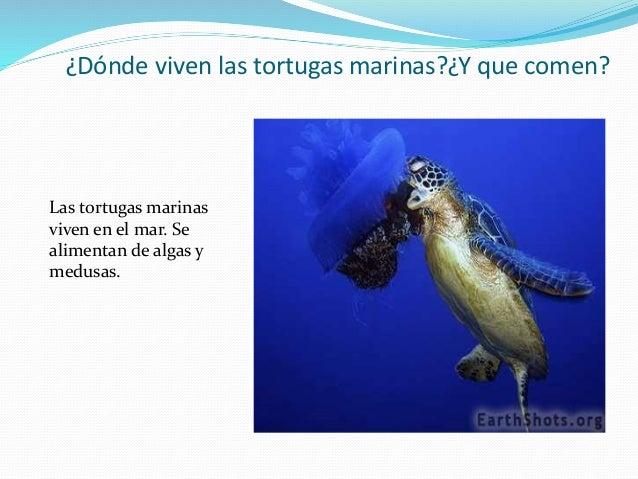 Tortugas marinas - Como se alimentan las medusas ...