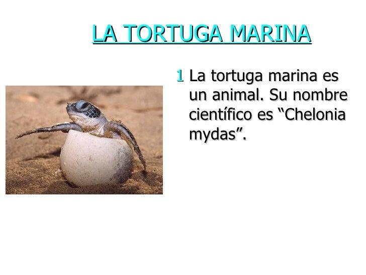 """LA TORTUGA MARINA <ul><li>1  La tortuga marina es un animal. Su nombre científico es """"Chelonia mydas"""".  </li></ul>"""