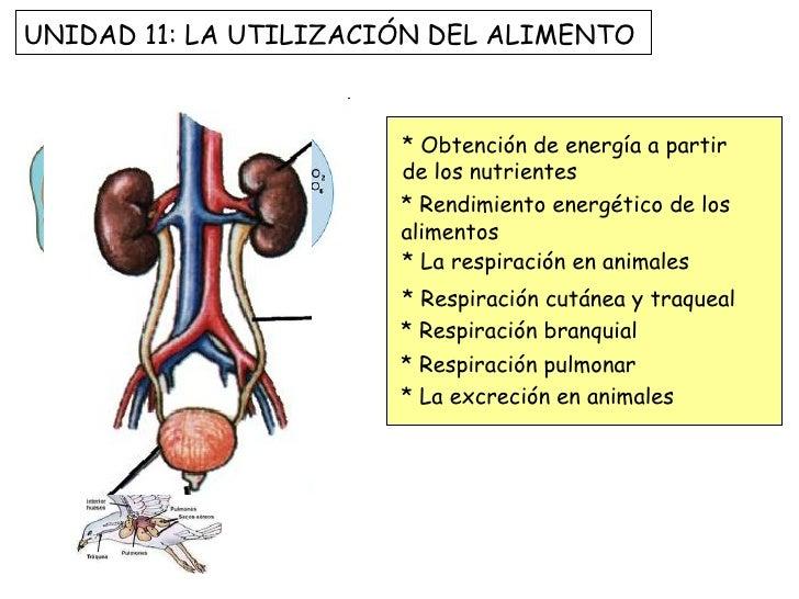 * Obtención de energía a partir de los nutrientes * Rendimiento energético de los alimentos * La respiración en animales *...