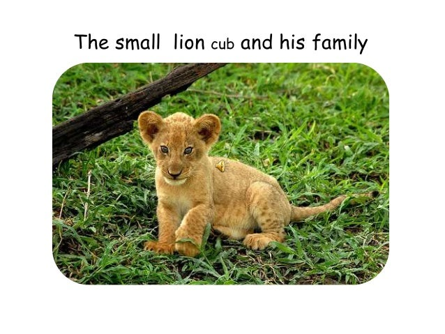 The small lion cub and his family