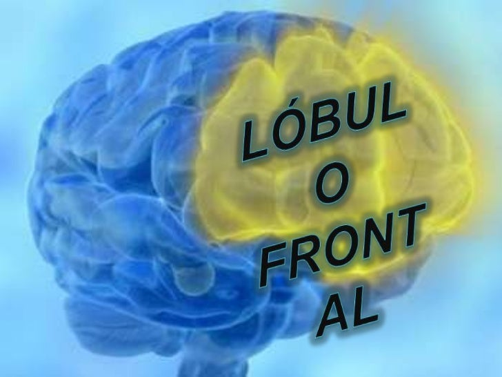 LÓBULO FRONTAL <br />