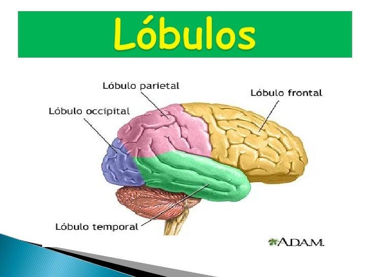 Este lóbulo está relacionadocon la atención selectiva, la iniciativa, la programación motora, la articulación del lenguaje...
