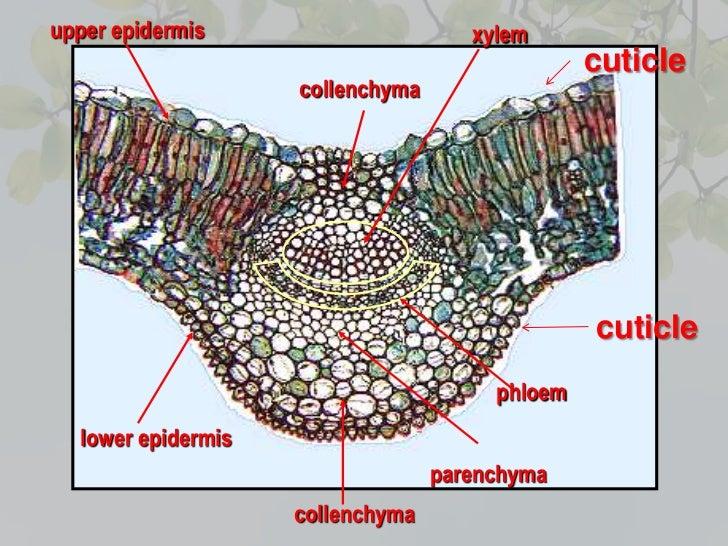 Internal leaf anatomy