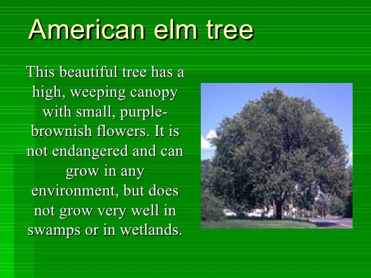 American elm tree This beautiful tree has a high, weeping canopy with small, purple-brownish flowers. It is not endangered...