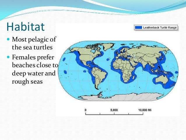 leatherback sea turtle. Black Bedroom Furniture Sets. Home Design Ideas