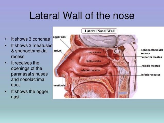 Lateral nasal wall anatomy