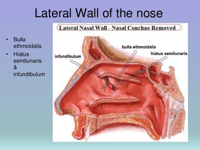 Nasal Anatomy Kubreforic