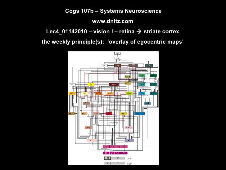 Cogs 107b – Systems Neuroscience www.dnitz.com Lec4_01142010 – vision I – retina    striate cortex the weekly principle(s...