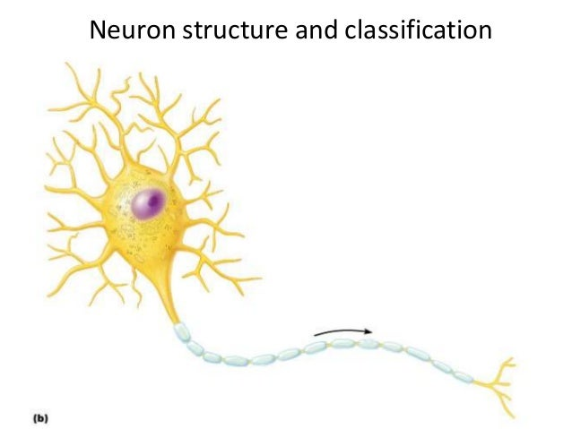 Copyright © 2005 Pearson Education, Inc., publishing as Benjamin Cummings Neuron structure and classification