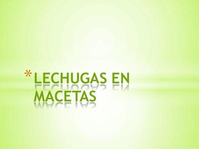 *LECHUGAS EN MACETAS