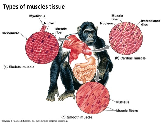 Three Types of Muscle Tissue Types of Muscles Tissue 1