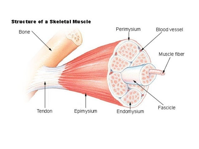 Three Types of Muscle Tissue Types of Muscles Tissue 3