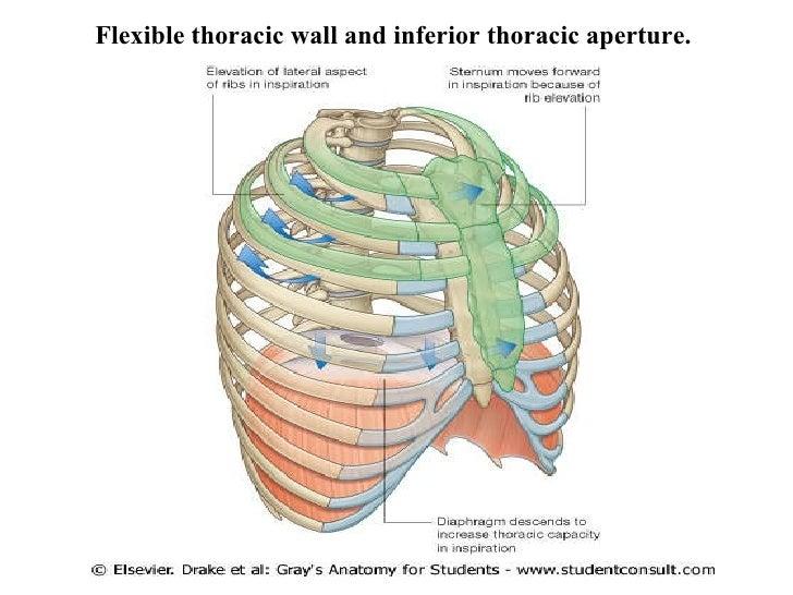 Thoracic wall anatomy