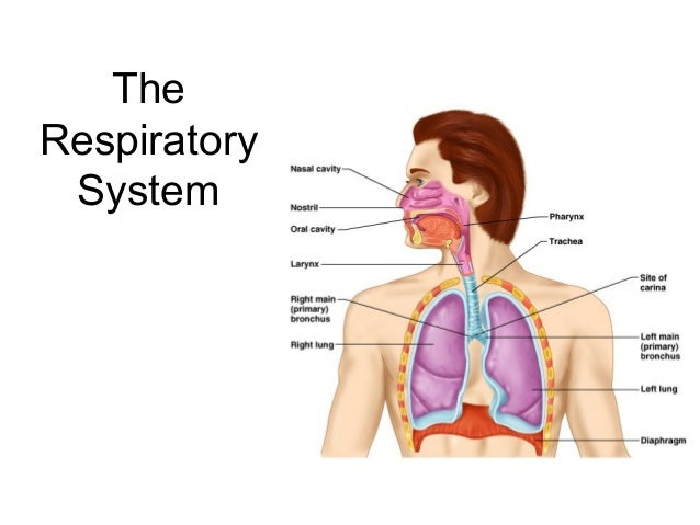 Human Ventilation System : Lecture respiratory system