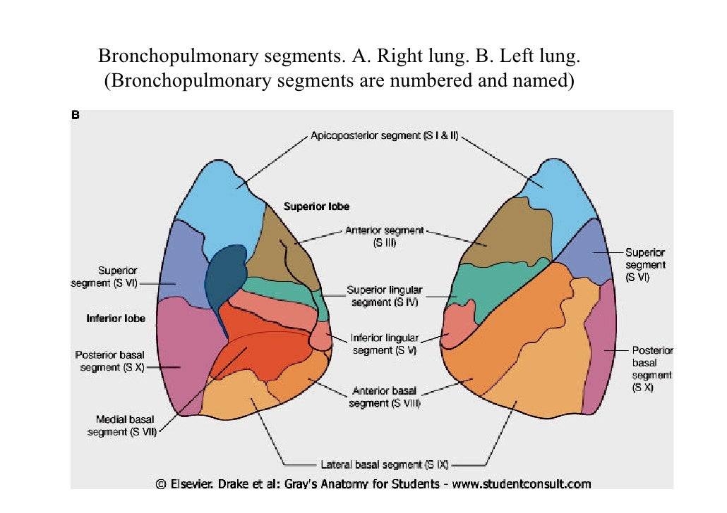 ment Fonctionnent Les Veines as well Lecture 3 Lungs Pleura in addition 8079096 also How Body Systems Connected in addition 1524 The Infra Orbital Nerve Anterior View. on lymphatic system anatomy physiology