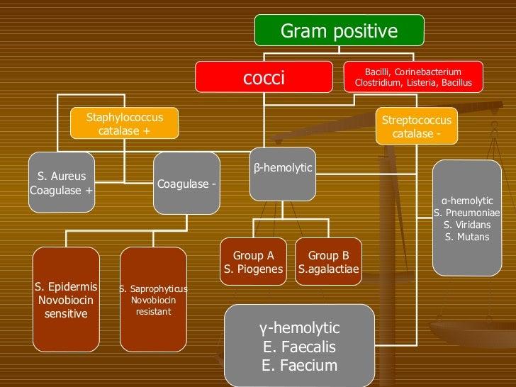 Gram Positive Cocci or Bacilli Gram Positive Cocci Bacilli