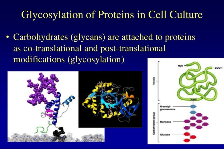 Glycosylation of Proteins in Cell Culture• Carbohydrates (glycans) are attached to proteins  as co-translational and post-...