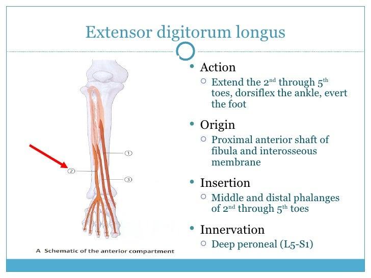 Extensor digitorum longus <ul><li>Action </li></ul><ul><ul><li>Extend the 2 nd  through 5 th  toes, dorsiflex the ankle, e...