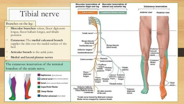 Posterior Tibial Nerve