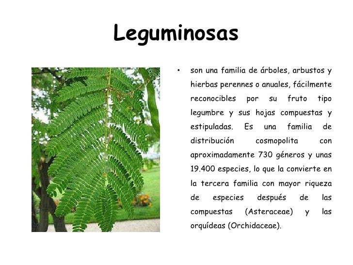 Leguminosas<br />son una familia de árboles, arbustos y hierbas perennes o anuales, fácilmente reconocibles por su fruto t...