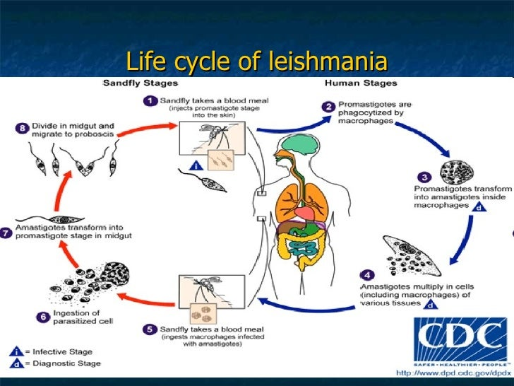 cutaneous leishmaniasis life cycle clip art owls in winter clip art owl glasses