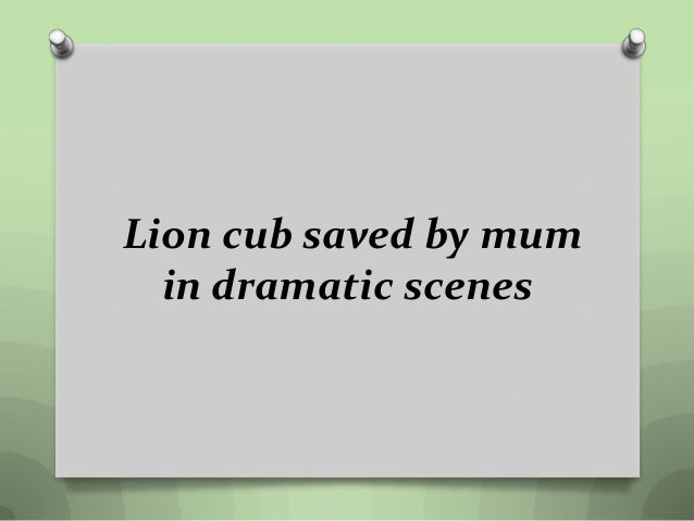 Lion cub saved by mum in dramatic scenes