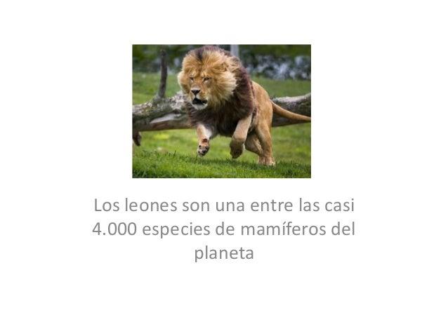 .Los leones son una entre las casi4.000 especies de mamíferos del            planeta