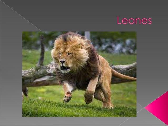  Los leones son mamíferos, fieros que viven en la sabana.