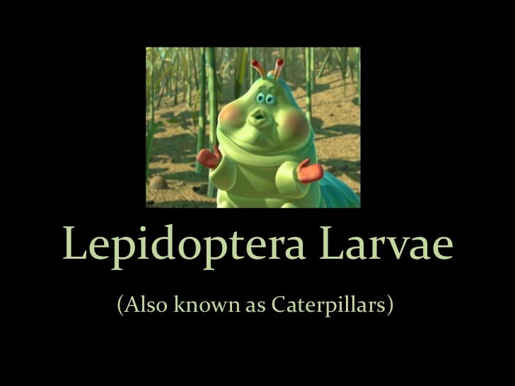 Lepidoptera Larvae  (Also known as Caterpillars)