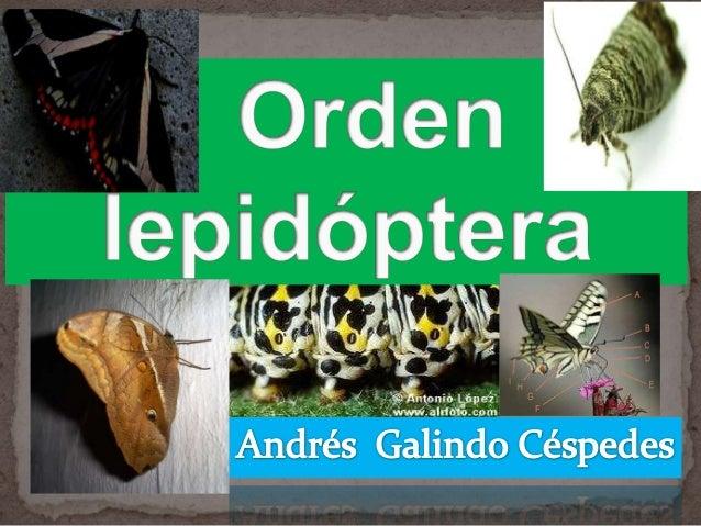 Lepidopteros,