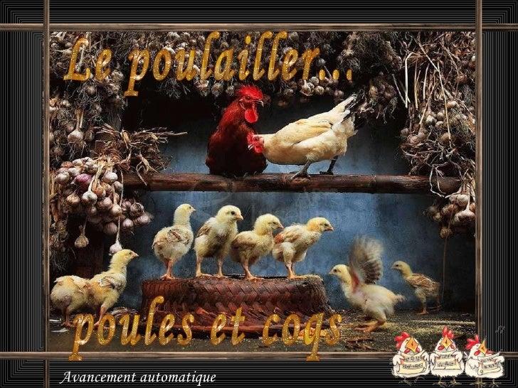 Avancement automatique Le poulailler... poules et coqs