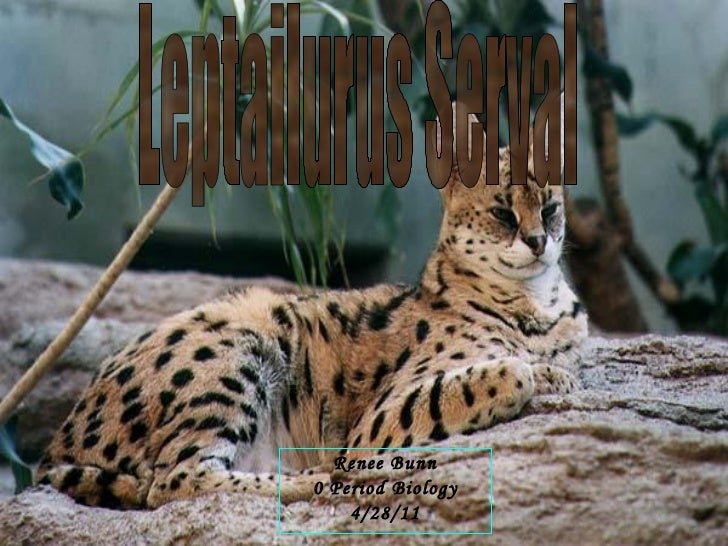 Leptailurus serval   renee bunn