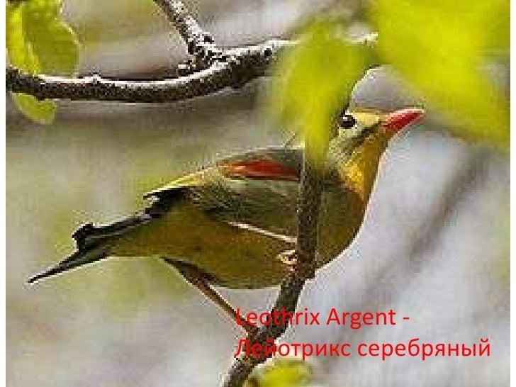 Leothrix Argent - Лейотрикс серебряный<br />