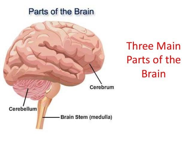 Once the basic brain anatomy