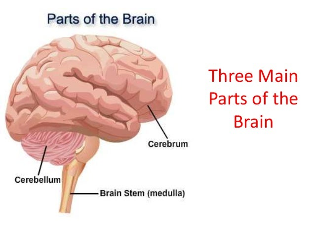 Parts of the Brain and Their Functions  MDHealthcom