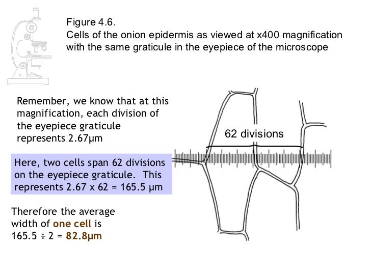 Worksheets Biological Magnification Worksheet Answers as biology lesson 2 measuring cells 19