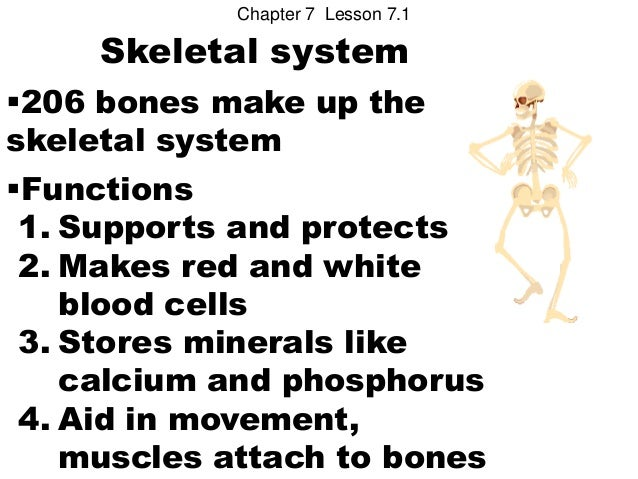 Chapter 7 Lesson 7.1     Skeletal system206 bones make up theskeletal systemFunctions 1. Supports and protects 2. Makes ...