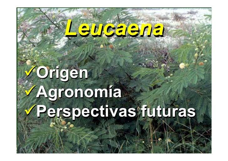 Leucaena Origen Agronomía Agronomía Perspectivas futuras
