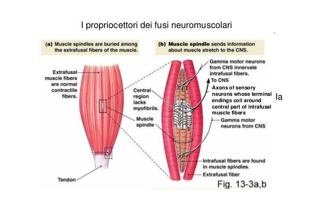 fusi neuromuscolari prorpiocezione