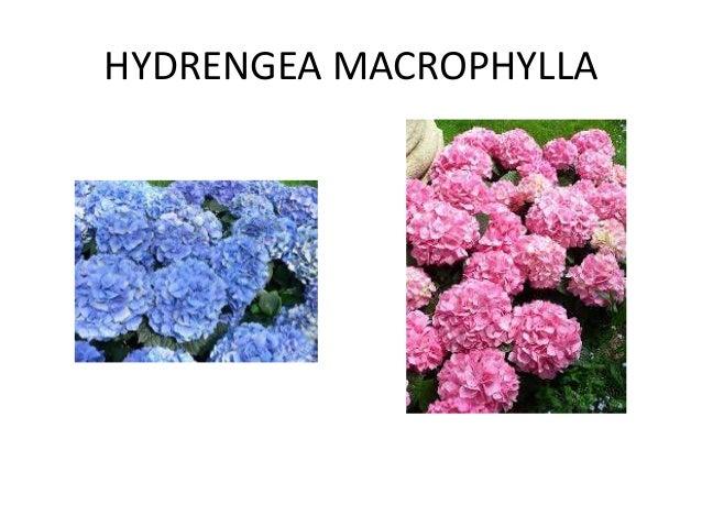 HYDRENGEA MACROPHYLLA