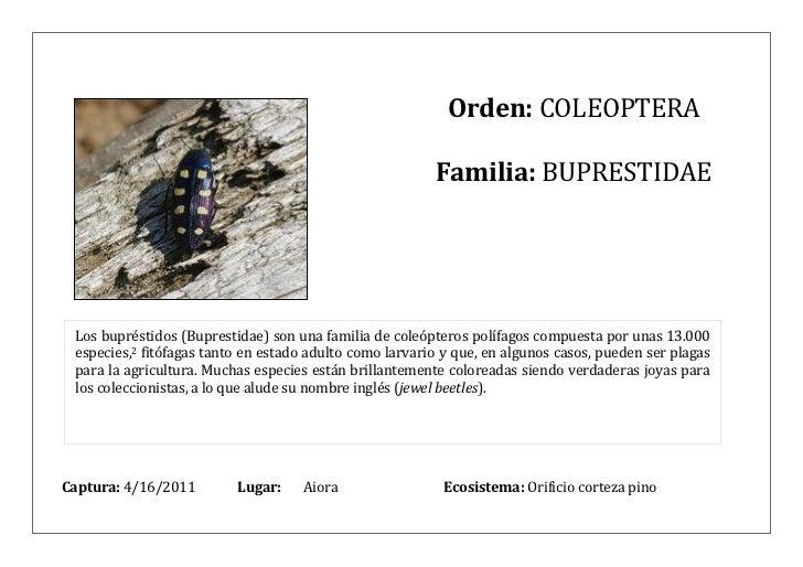 Orden: COLEOPTERA                                                         Familia: BUPRESTIDAE Los bupréstidos (Buprestida...