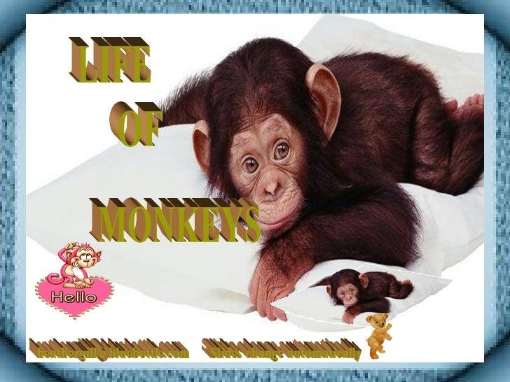 Life Of Monkeys 02