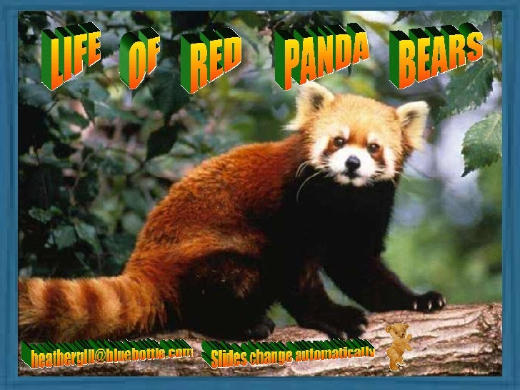 LIFE OF RED PANDA BEARS [email_address] Slides change automatically